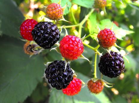 berries-301706_640