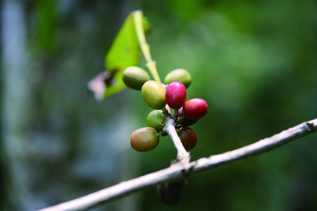 owoce-kawowca