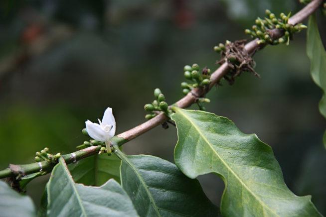 kawa jak rośnie - kwiaty