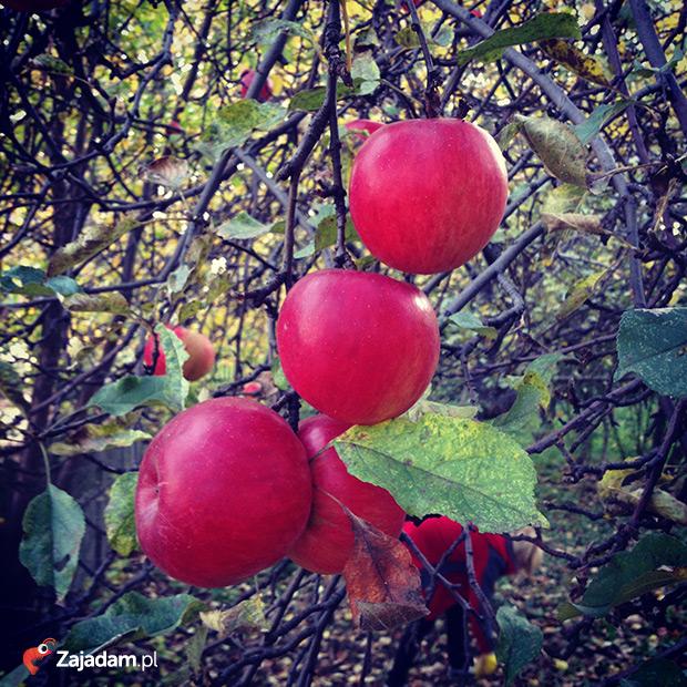 jabłka na kompot